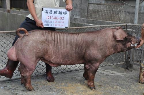 台灣種豬發展協會9907期D1346-02側面相片