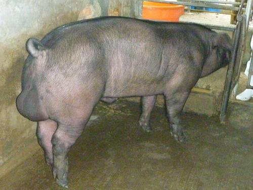 台灣種豬發展協會9907期F1055-02側面相片