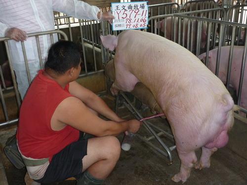 台灣種豬發展協會9907期Y0579-11採精相片