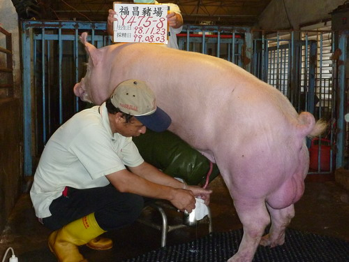 台灣種豬發展協會9907期Y0475-08採精相片