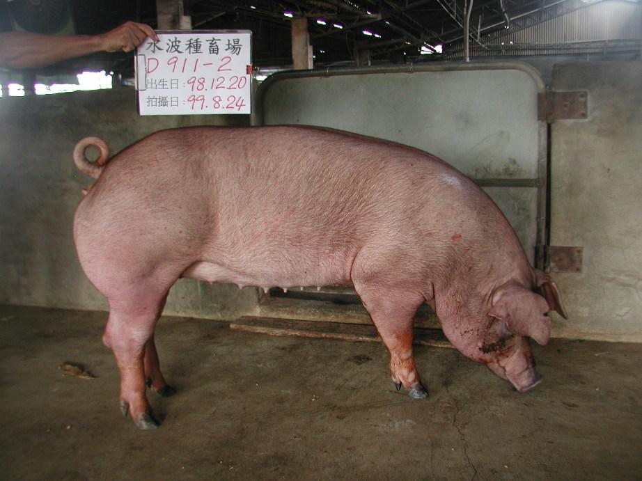 台灣種豬發展協會9908期D0911-02側面相片