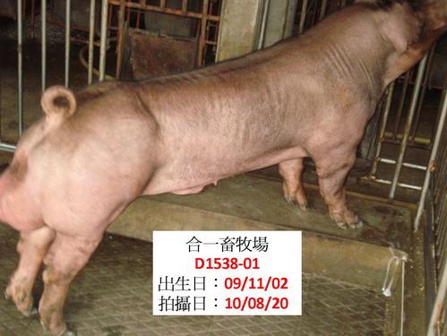 台灣種豬發展協會9908期D1538-01側面相片