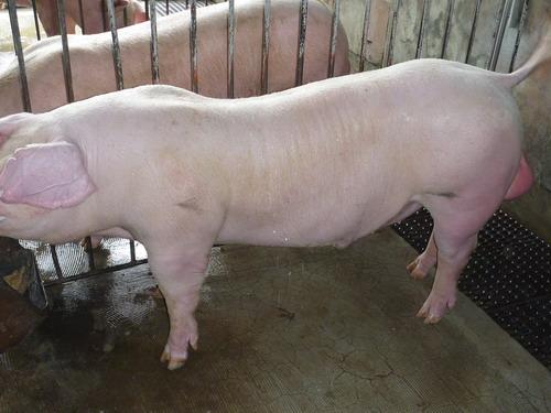 台灣種豬發展協會9908期L0027-10側面相片