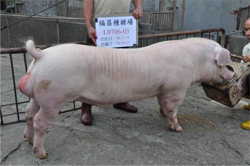 台灣種豬發展協會9908期L0706-03側面相片