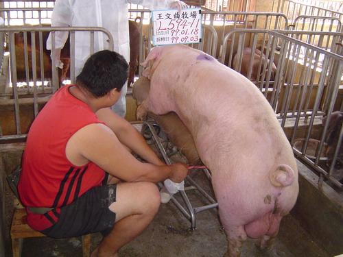 台灣種豬發展協會9909期L0594-11採精相片