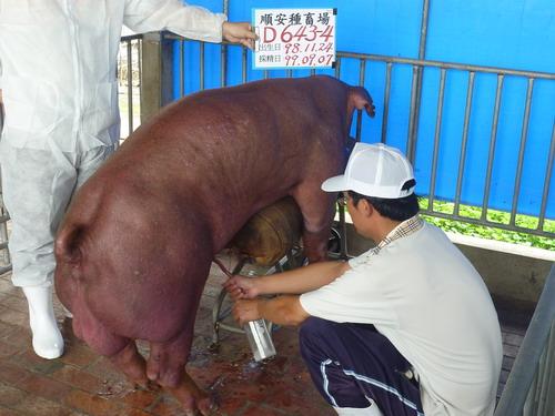 台灣種豬發展協會9909期D0643-04採精相片