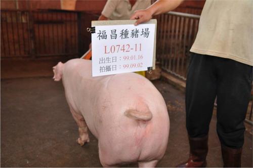 台灣種豬發展協會9909期L0742-11採精相片
