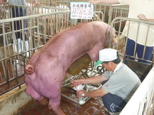 台灣種豬發展協會9910期D0922-08採精相片