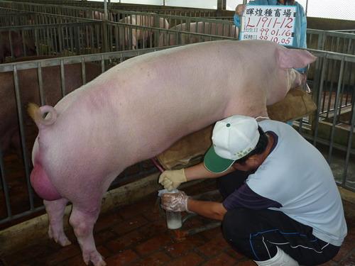 台灣種豬發展協會9910期L1911-12採精相片