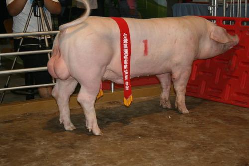 台灣區種豬產業協會9909期L0990-11拍賣相片(高價豬)