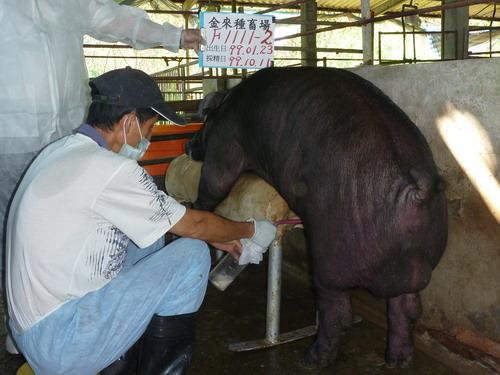 台灣區種豬產業協會9910期F1111-02採精相片