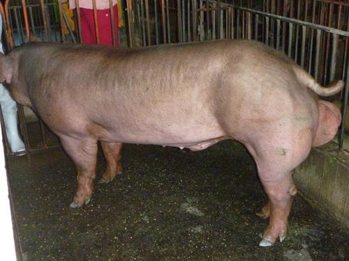 台灣區種豬產業協會9911期D1333-02側面相片