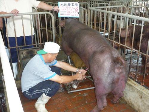 台灣區種豬產業協會9911期D0891-08採精相片