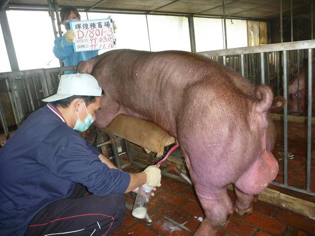 台灣區種豬產業協會9912期D1801-03採精相片
