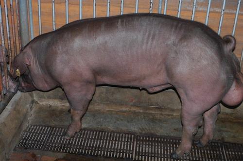 中央畜產會201003期D1621-01體型-全身相片