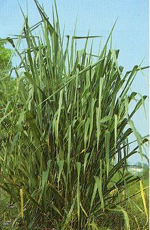 天竺草Panicum maximum Jacq.