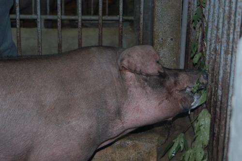 中央畜產會201003期D1442-15體型-頭頸相片
