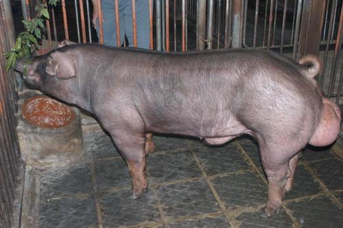 中央畜產會201004期D1651-03體型-全身相片