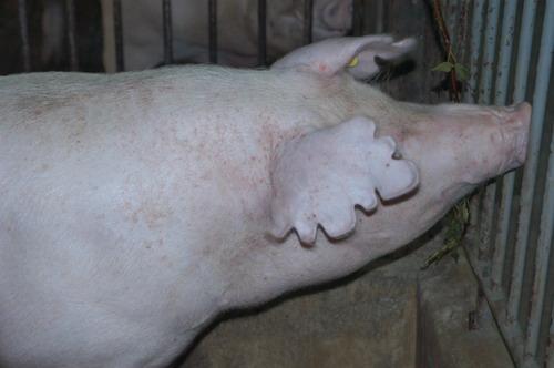 中央畜產會201004期L0738-05體型-頭頸相片