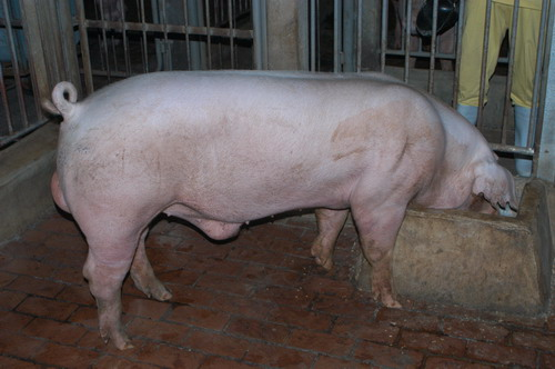 中央畜產會201004期L0068-01體型-全身相片