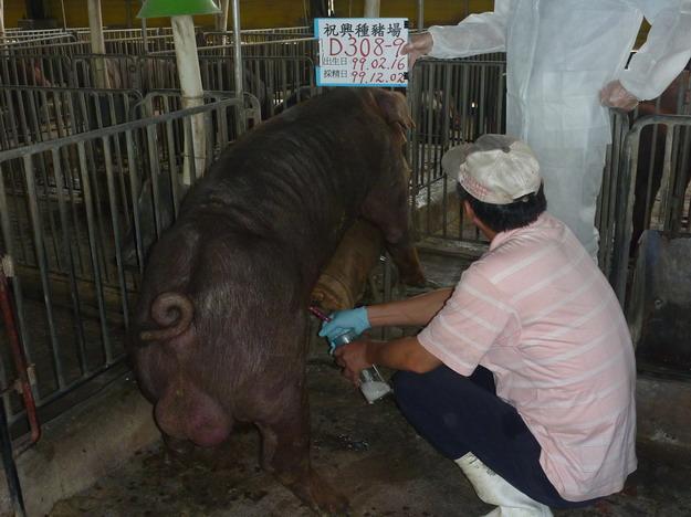 台灣區種豬產業協會9913期D0308-09採精相片