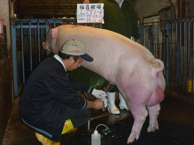 台灣區種豬產業協會9913期L0791-04採精相片