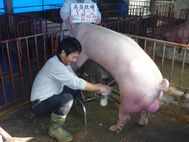 台灣區種豬產業協會9913期Y0003-02採精相片
