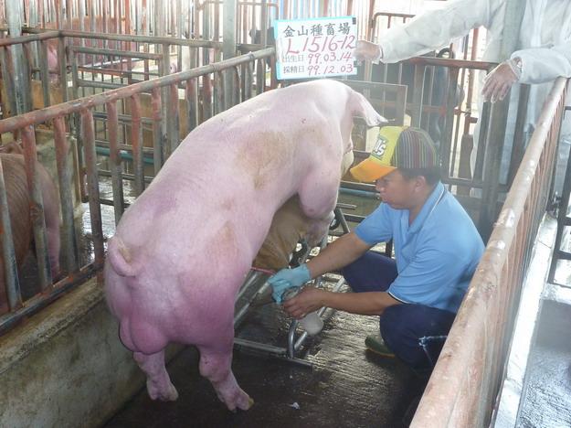 台灣區種豬產業協會9913期L1516-12採精相片