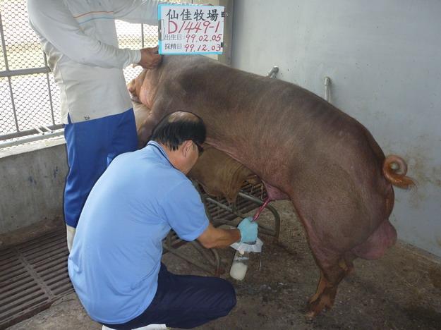 台灣區種豬產業協會9913期D1449-01採精相片