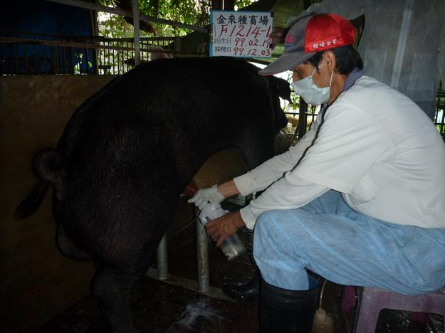 台灣區種豬產業協會9913期F1214-01採精相片