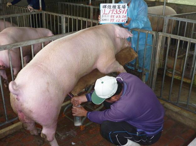 台灣區種豬產業協會9913期L1935-11採精相片