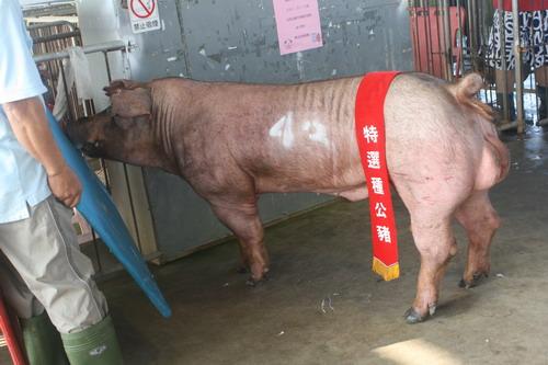 台灣區種豬產業協會9912期D1357-03拍賣相片(高價豬)