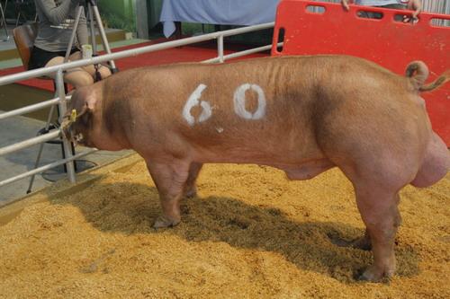 中央畜產會201005期D0001-01拍賣照片(高價豬)