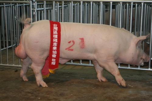 台灣種豬發展協會9908期Y0475-05拍賣相片(高價豬)