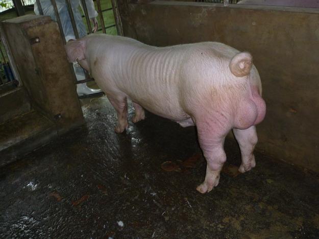 台灣區種豬產業協會9913期L0951-01側面相片