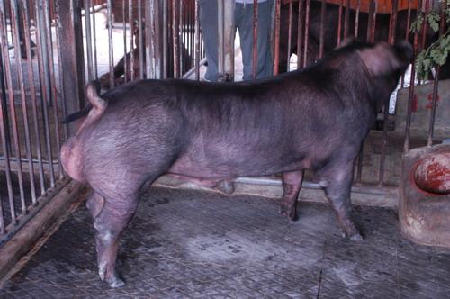 中央畜產會201007期D0940-01體型-全身相片