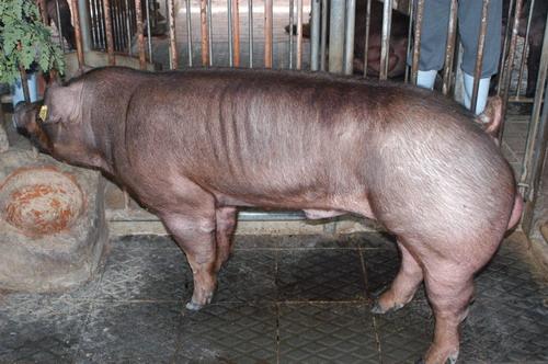 中央畜產會201007期D0444-02體型-全身相片