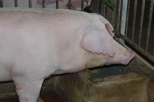 中央畜產會201007期L1078-09體型-頭頸相片