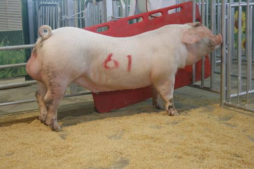 中央畜產會201007期L0993-01拍賣照片(高價豬)