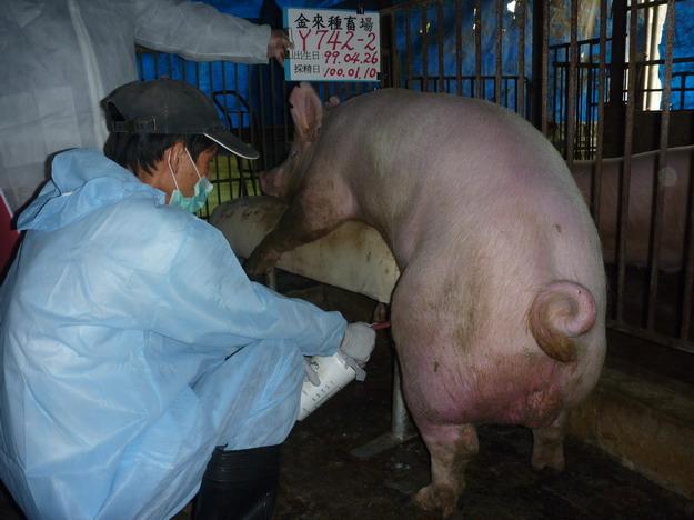 台灣區種豬產業協會10001期Y0742-02採精相片