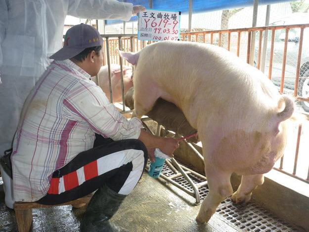 台灣區種豬產業協會10001期Y0619-09採精相片