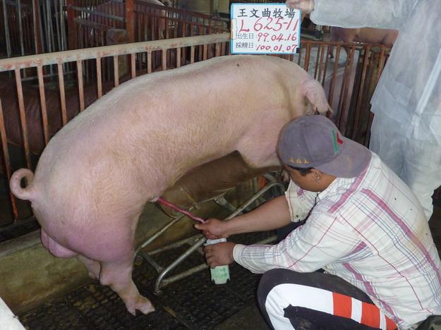 台灣區種豬產業協會10001期L0625-11採精相片