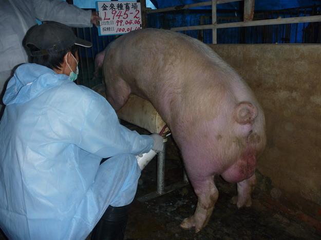 台灣區種豬產業協會10001期L0945-02採精相片