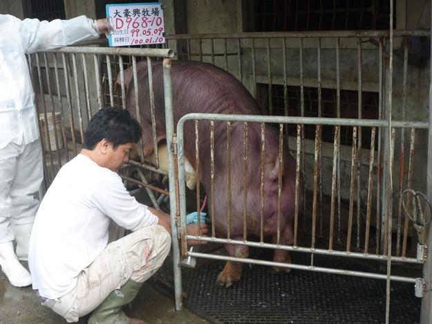 台灣區種豬產業協會10001期D0968-10採精相片