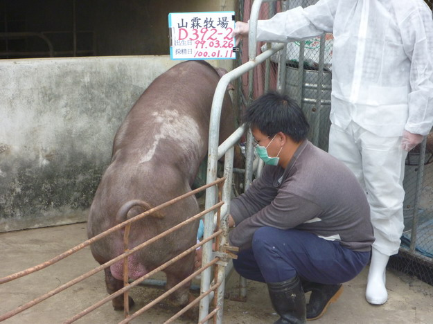 台灣區種豬產業協會10001期D0392-02採精相片