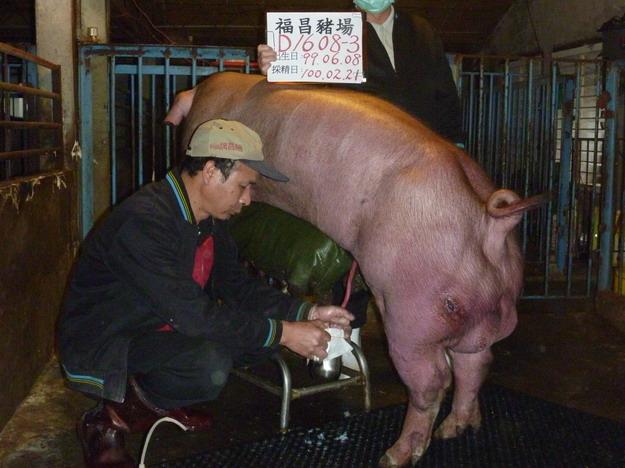 台灣區種豬產業協會10002期D1608-03採精相片