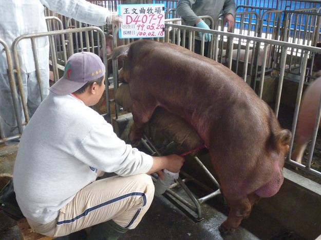 台灣區種豬產業協會10002期D0407-09採精相片