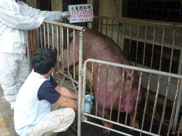 台灣區種豬產業協會10002期D0970-10採精相片