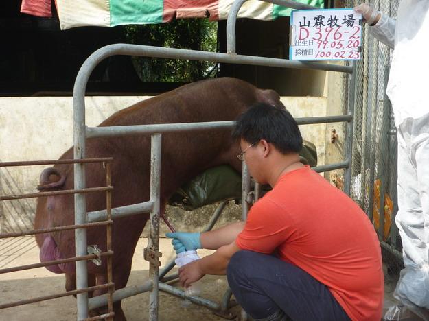 台灣區種豬產業協會10002期D0396-02採精相片