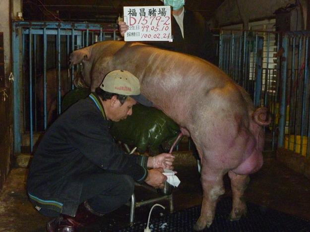 台灣區種豬產業協會10002期D1579-02採精相片